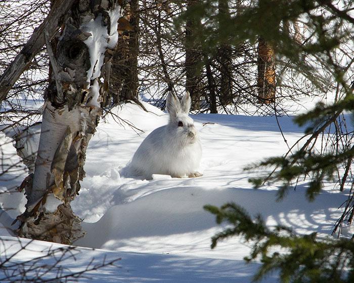 Lapin neige - Fourrures Abitibi360